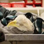 MU Eagle 2