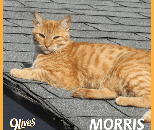 Morris the Cat on Grooming