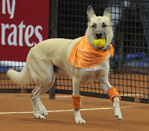 Formerly Homeless Dogs Now Work for Professional Tennis