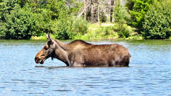 Moose crossing Shadow Mountain Lake