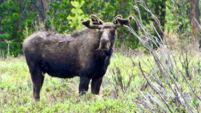 Moose in the Kawuneeche Valley