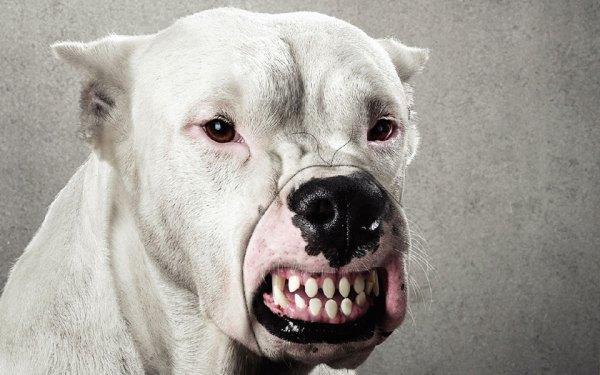 Самые опасные собаки в мире: 10 пород, фото, описание