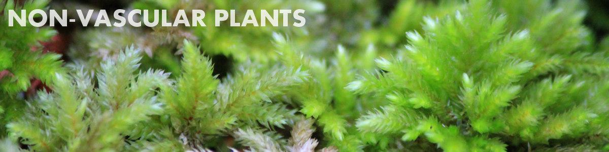 Non-vascular Plants
