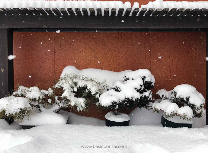 Bonsai Trees Covered by Snow