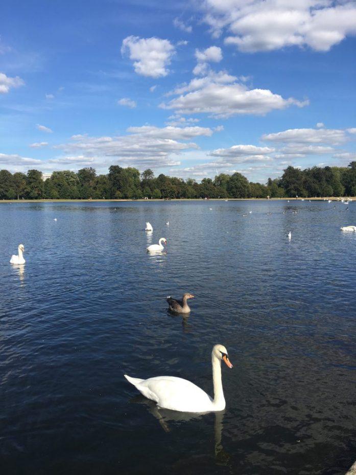 Swans in Hyde Park, London
