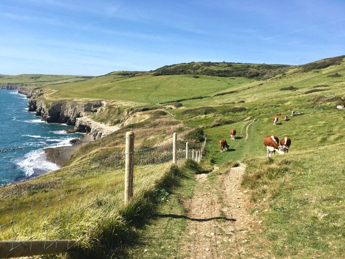 cows on the south west coast path