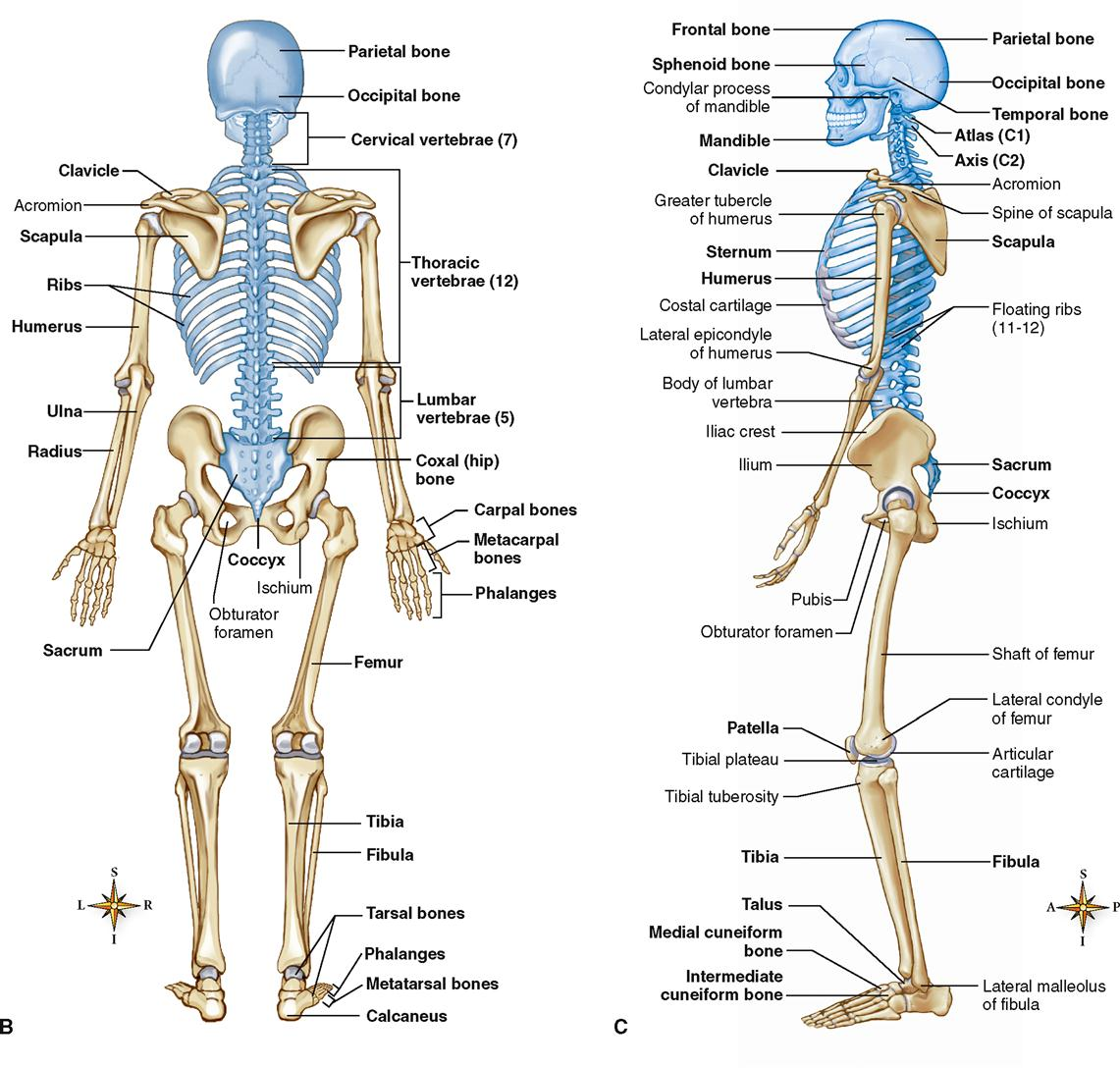 Student Worksheet Skeletal System