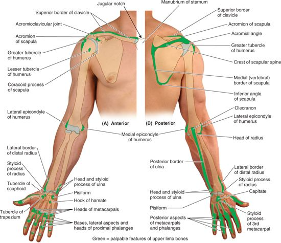 Upper Limb | Basicmedical Key