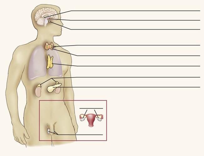 Endocrine System   Basicmedical Key