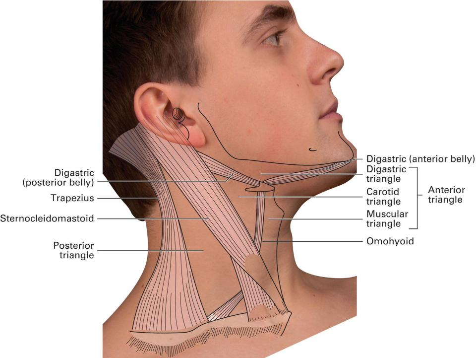 Diagram of the triangles of the neck displaying a man turning his head leftward having his chin upward, with lines marking the posterior triangle, carotid triangle, muscular triangle, digastric triangle, etc.