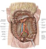 Organs of the Digestive System and their Neurovasculature