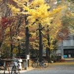黃澄澄的銀杏葉飄散於京都大學
