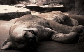 Sleeping Mountain Lion