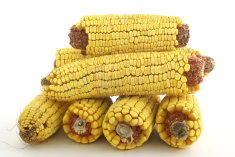 stock-photo-6372836-stack-of-dry-corn-cobs