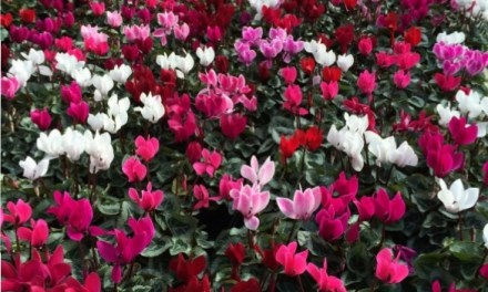 Autumn Cyclamen – ready now