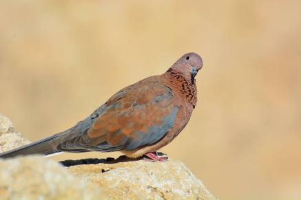 Laughing Dove, Israel