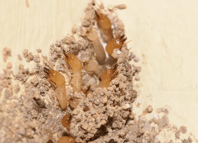 Gambar Cara Menghilangkan Rayap di Tembok