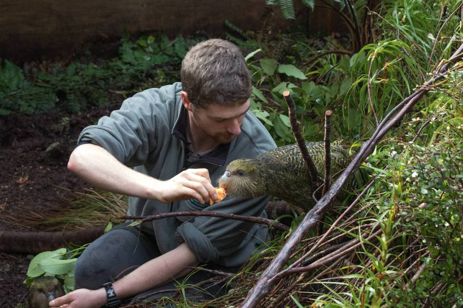 kakapo, flightless parrot, hand-fed parrot, critically endangered species