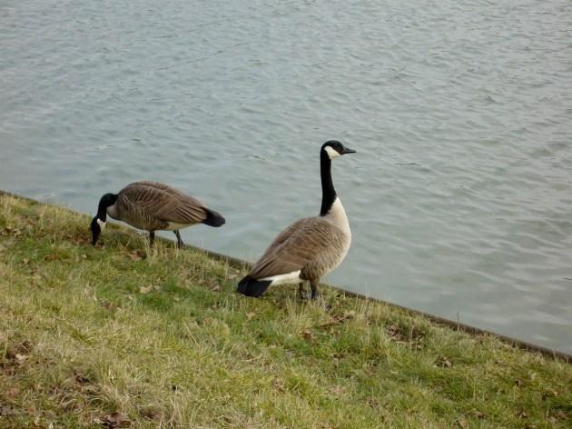 Wasservögel waren in Massen unterwegs