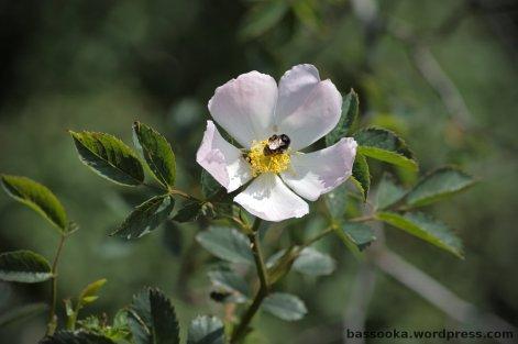 Familie Rosaceae, essbar (auch für Menschen)