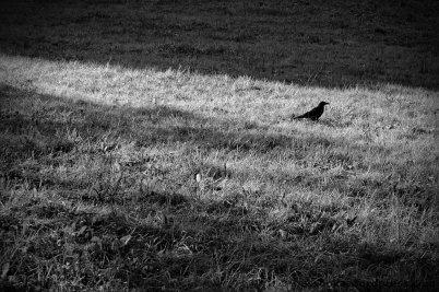 Krähe am Boden