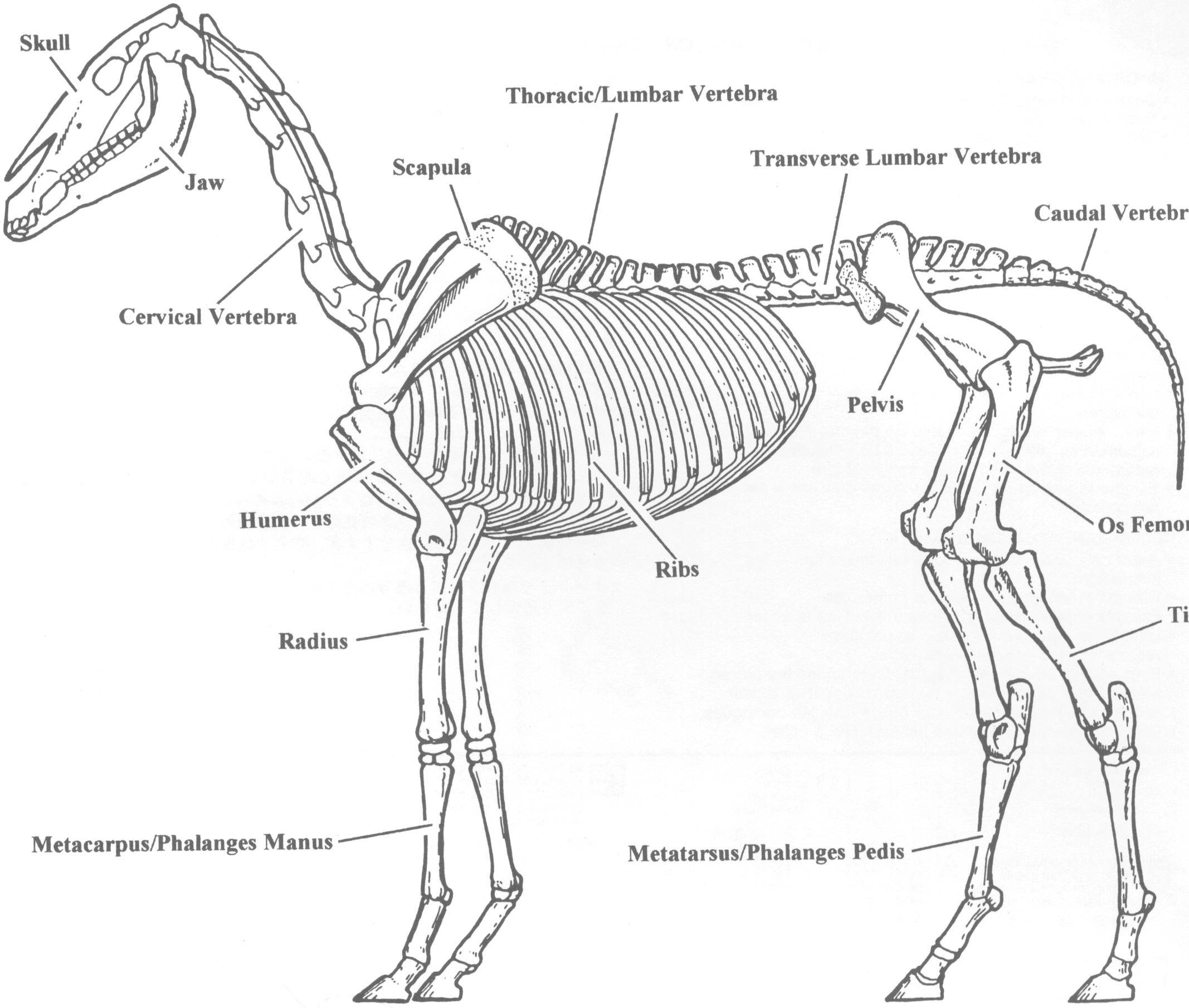 Need Horse Skeleton Plans