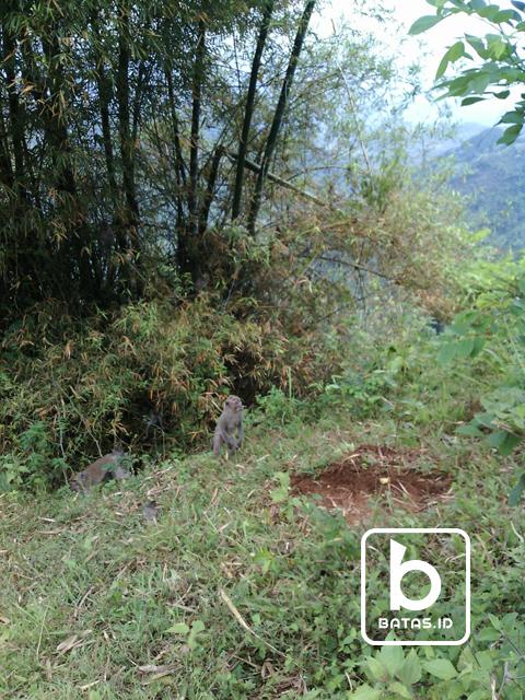 ©batas.id/edi purnomo/beberapa kera yang muncul di area watu adeg