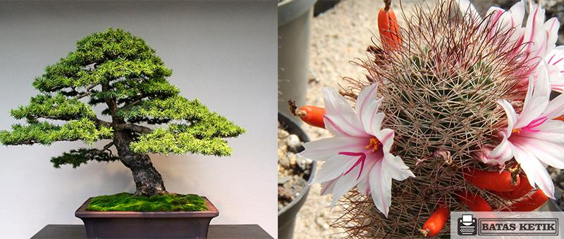 jenis tanaman hias batang