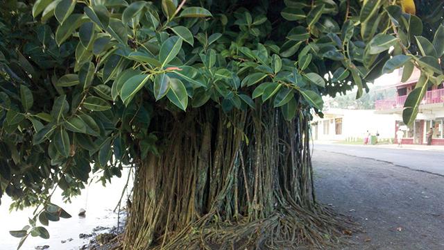 Tanaman Hias Akar Ficus Elastica