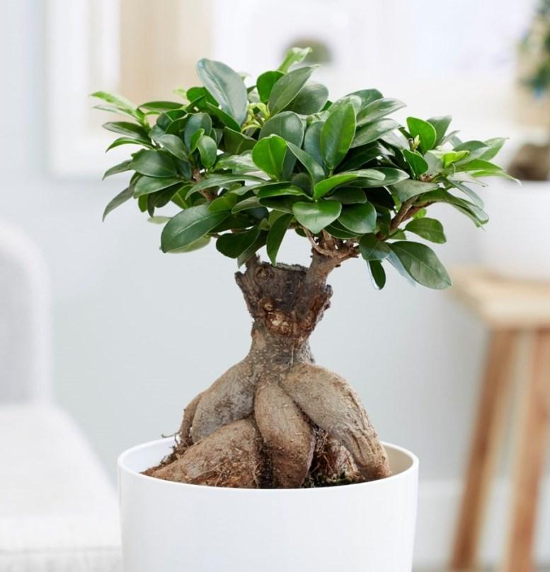 tanaman hias akar ficus microcarpa