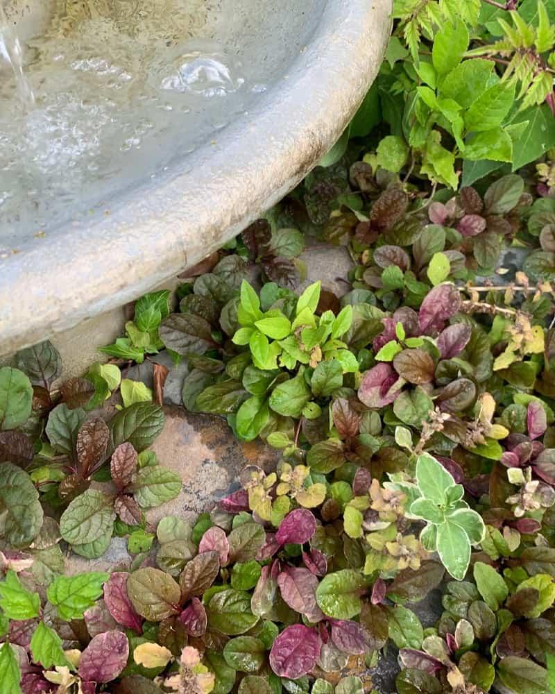 Ajuga ground cover next to a birdbath.