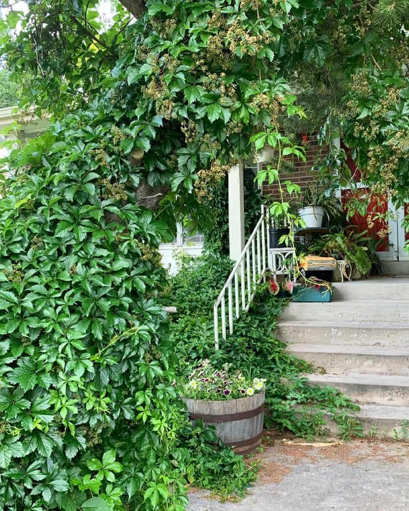 Virginia creeper climbing a tree and framing a porch,