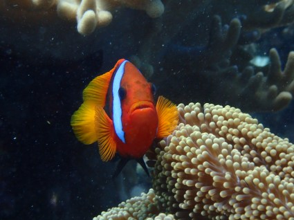 A clown fish on the Great Barrier Reef. I confess I didn't take this picture myself...