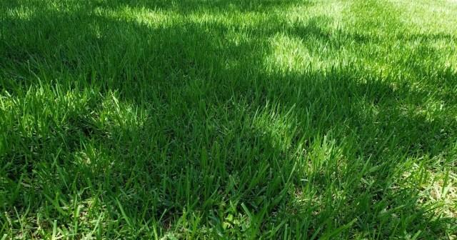 Palisades Zoysia grass growning under live oak trees