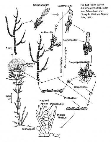 Жизненный цикл Батрахоспермума. Иллюстрация из книги Phycology (Lee, 1999).