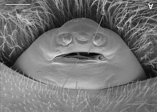 Stylops ovinae cephalothorax