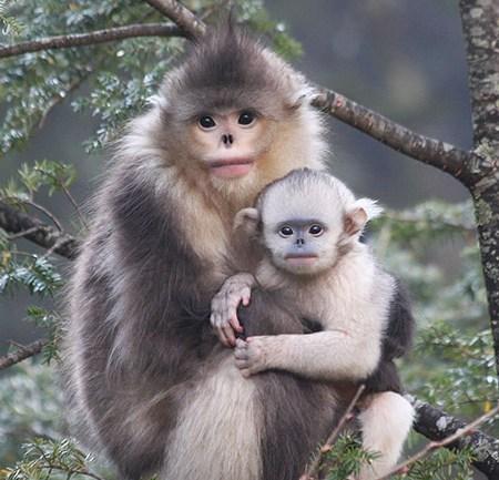 yunnan-snub-nosed-monkey