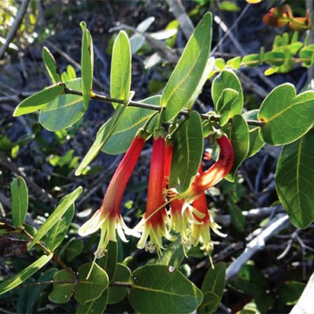 pycnandra-longiflora