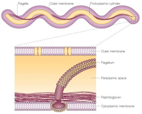 borrelia-flagella