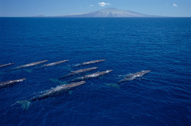 spermwhale-galapagos