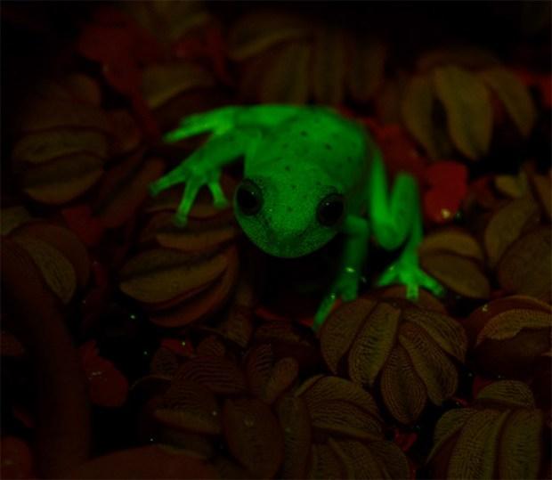 Hypsiboas fluorescence1