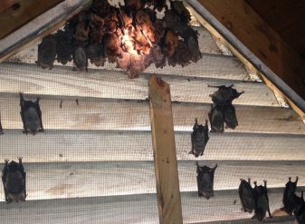 Roswell GA Bat Removal