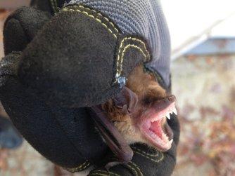 Bat removed in Lawrenceville GA