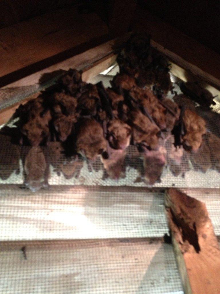 Johns Creek Bat Removal