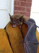 bat removal alpharetta