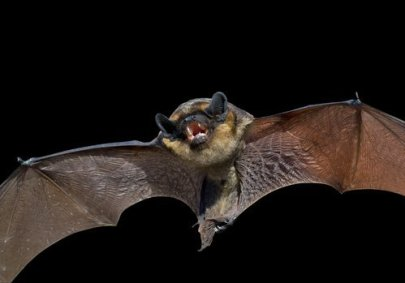 bat exclusion methods - big brown bat