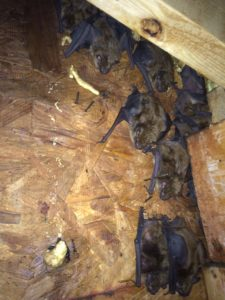 Duluth Bat Removal