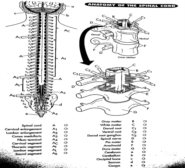 Nervous System Color Worksheet