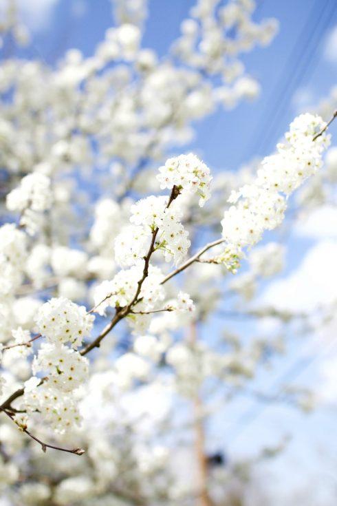 blooming spring trees