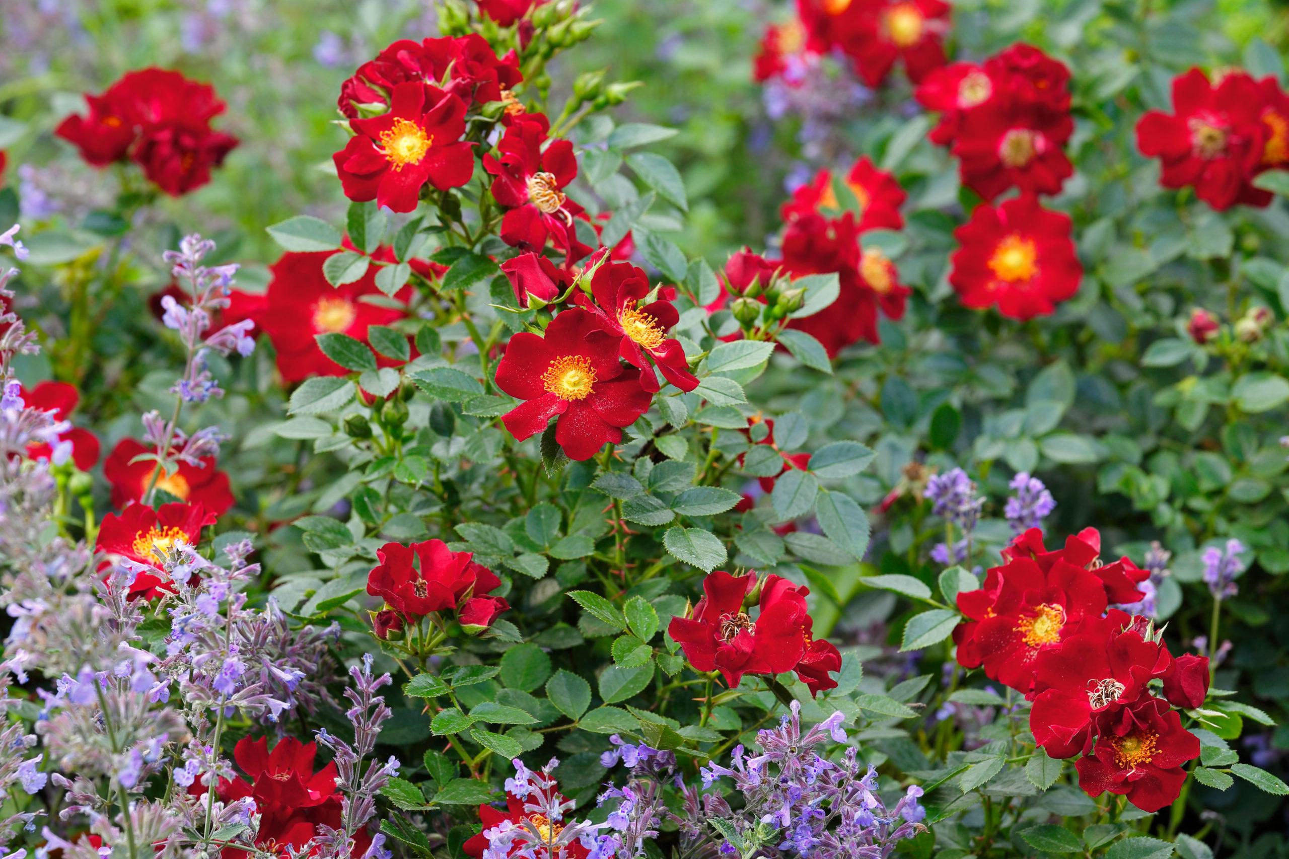 Naturnahe Gärten mit Rosen